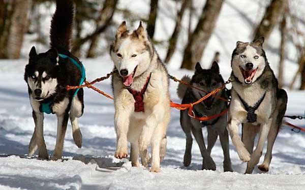 perros-trineo