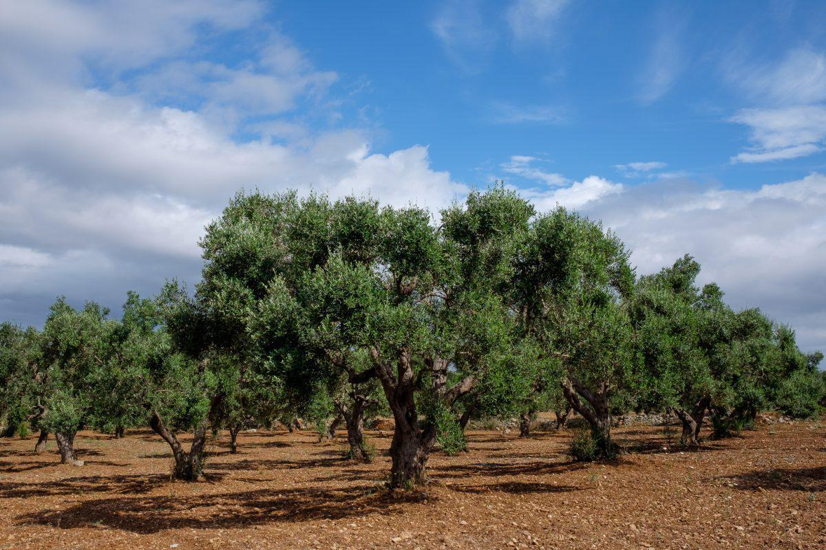 olivosenitalia